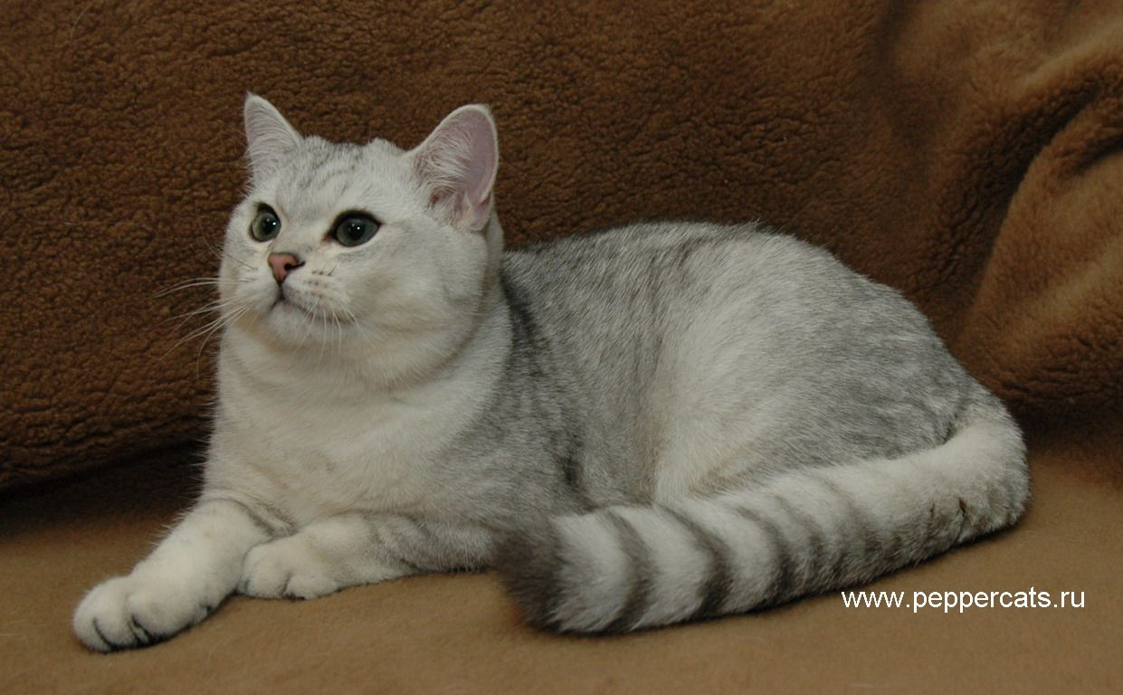 Silver shaded British Shorthair Rearing kittens Cats