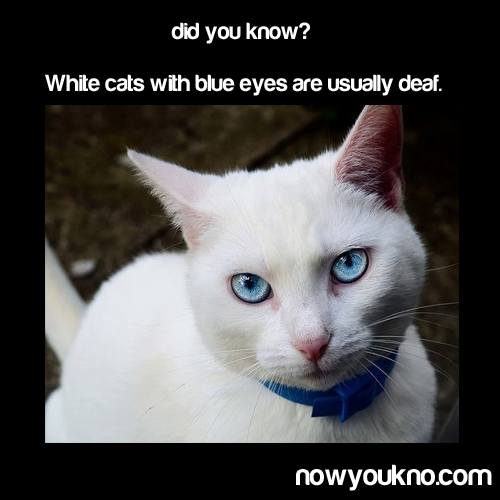 interesting! Cat with blue eyes, White cats