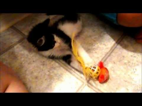 Watch Kitten With Only Two Legs No Pelvis Adorably Plays With Toys Kittens Playing Kittens Kittens Cutest