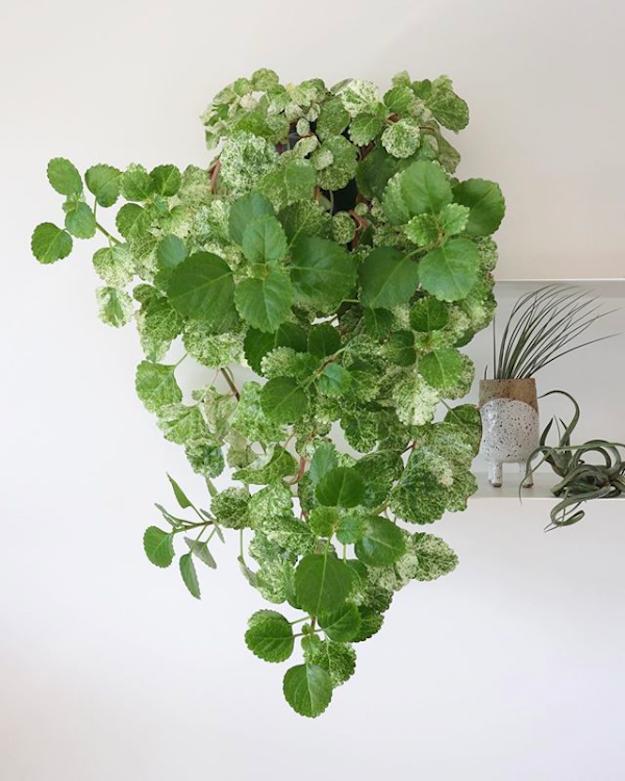 Growing Swedish Ivy Indoor Climbing Plants Plants Ivy Plants