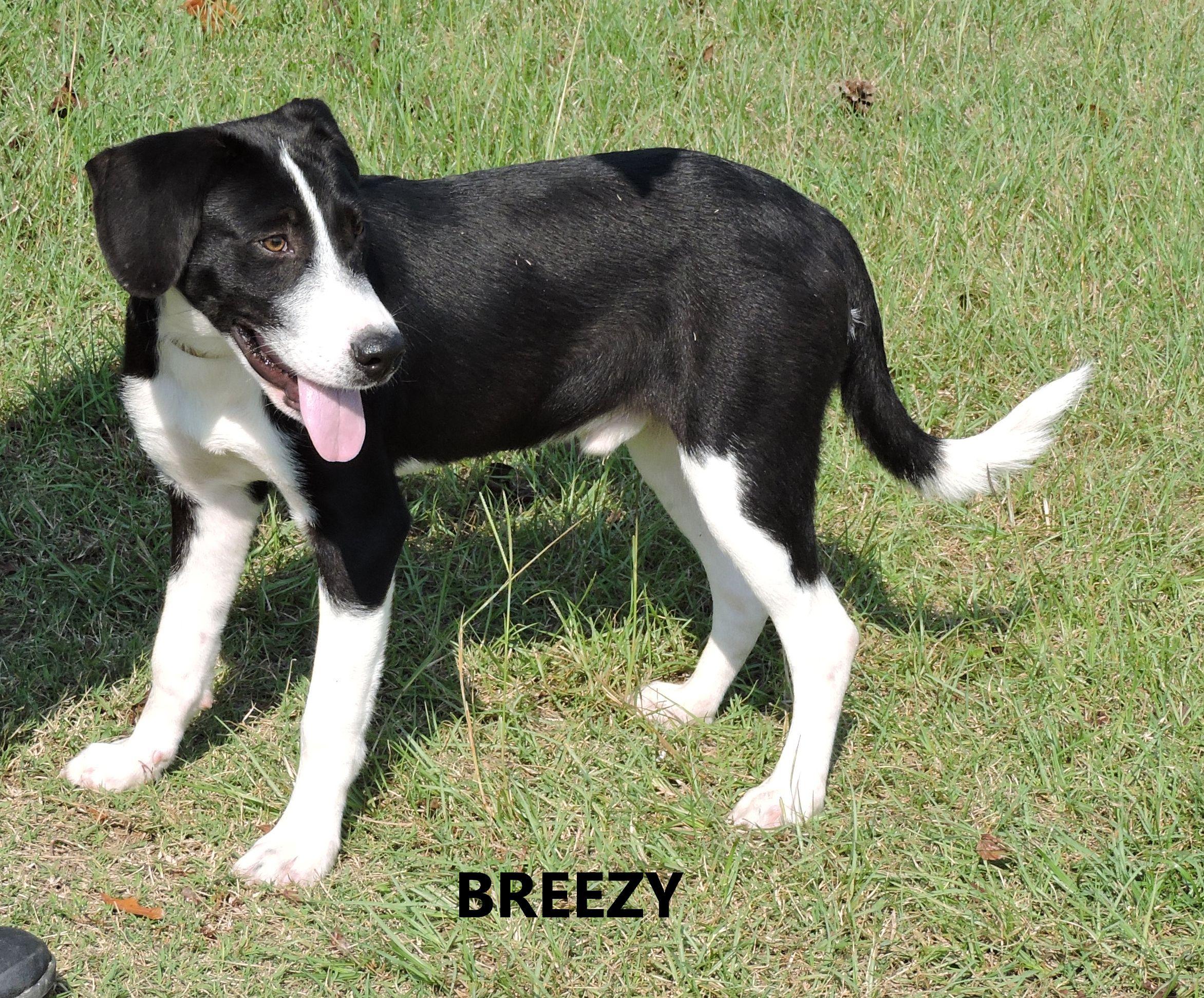 Adopt Breezy On Furry Family Animal Shelter Labrador