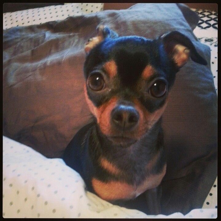My Dog Ivy Floppy Ears When Tired Boston Terrier Terrier Dogs