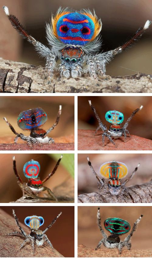 Australian Peacock Spider.. Love them