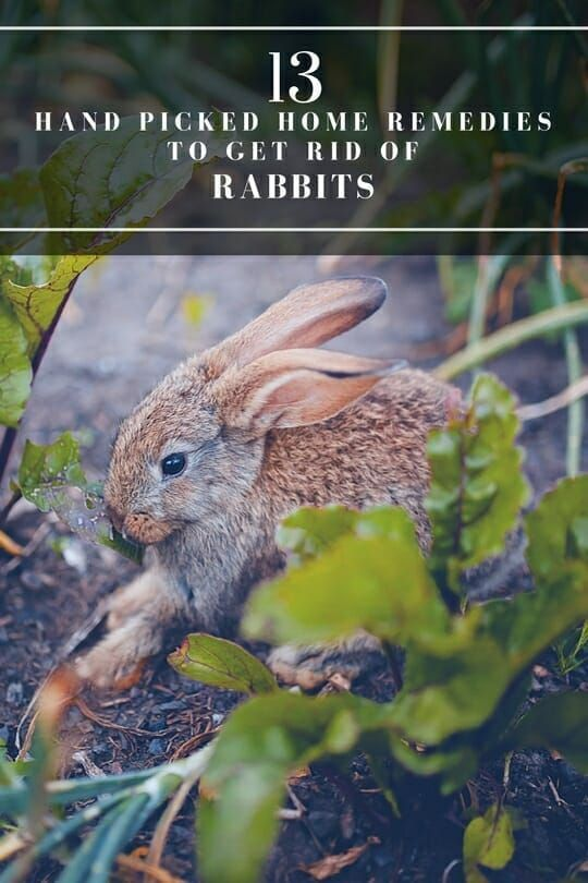 Garden pests - 13 Tips on How to Get Rid of Rabbits ...