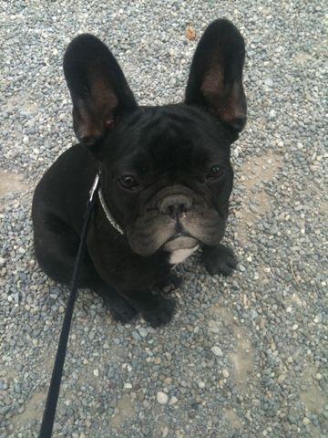 Meet Cookie The Precious Things French Bulldog French Bulldog Puppy Cute Animals