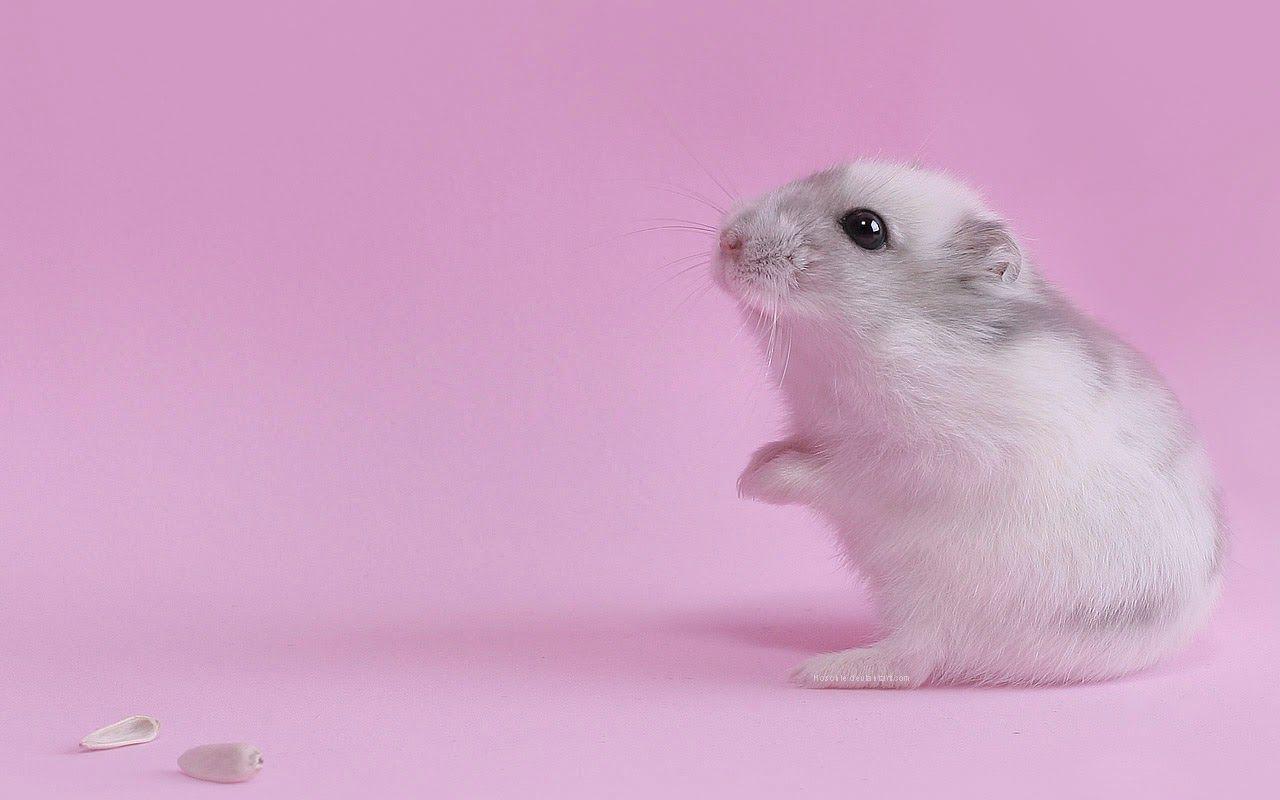 Mouse Cute Hd Wallpapers Cute Hamsters Hamster Wallpaper Animal Wallpaper