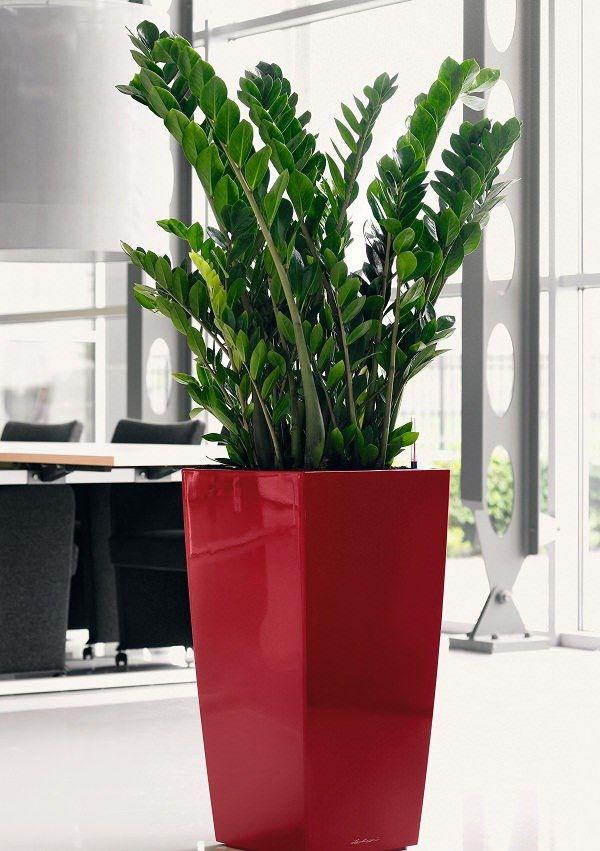 Mini Zanzibar Gem - Best4Garden Indoor Plants