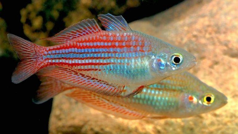 Melanotaenia Utcheensis Rainbow Fish Fish Melanotaenia Rainbow Utcheensis Melanotaenia Utcheensis Rainbow F In 2020 Fish Rainbow Fish Australian Rainbow Fish
