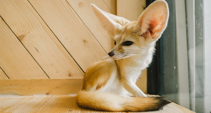 11 Pet Fennec Foxes That Can Stay In Our Laps Forever Pet Fox Fennec Fox Pet Red Fox Pet