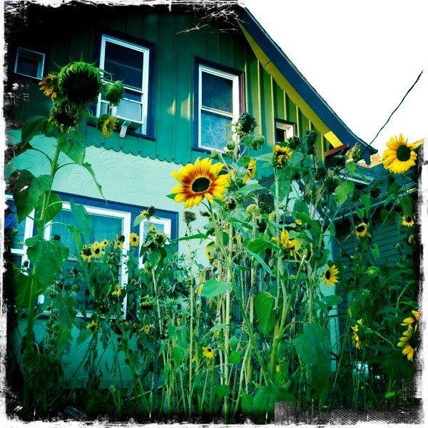 tall tall sunflowers Planting flowers, Urban garden