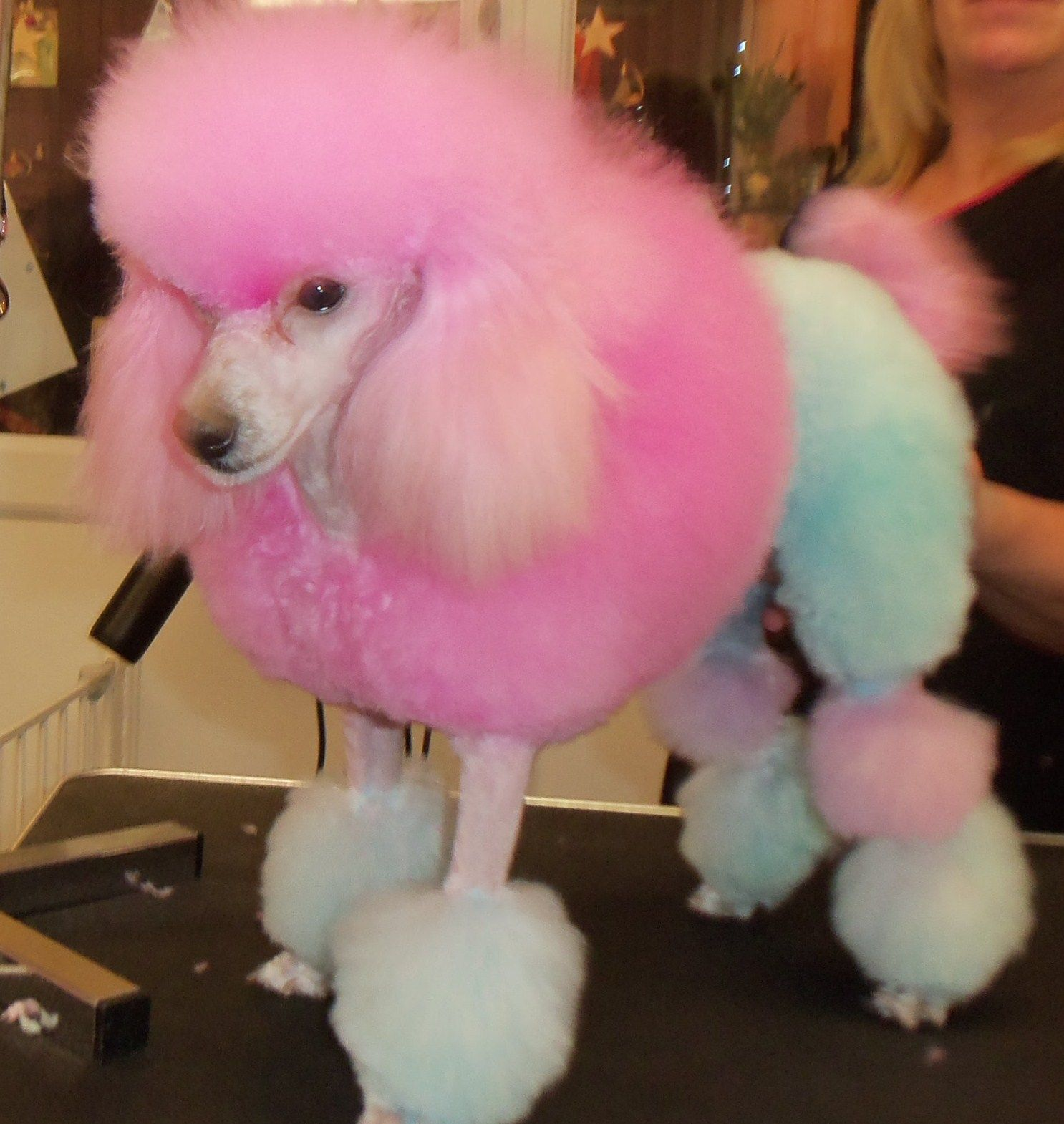 Standard poodle haircuts or of unless soft haircuts standard poodle - Dog