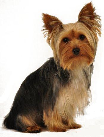 Yorkshire Terrier Yorkie Yorkie Dogs Dog Breeds