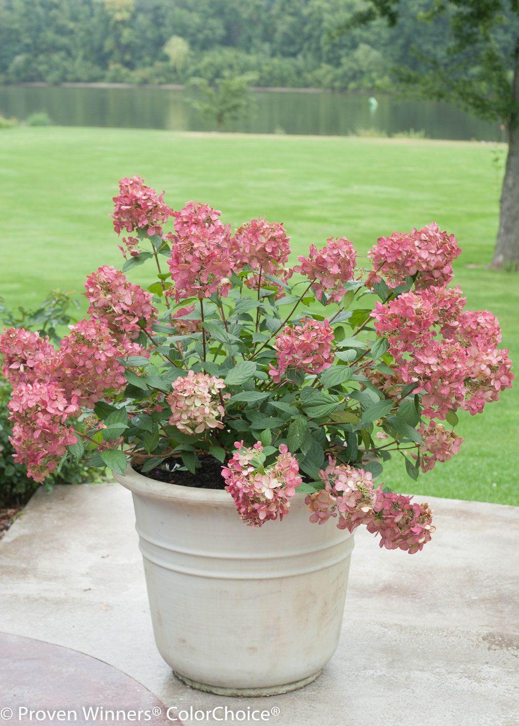 Fire Light Panicle Hydrangea Hydrangea Paniculata Hydrangea Paniculata Hardy Hydrangea Planting Hydrangeas