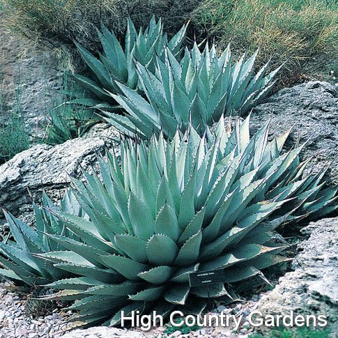 Agave Parryi Century Plant Flagstaff Form A Super Hardy Zone 6 And Up But At Home In Cold Speaking From Experience It Will Rot If Heavy New