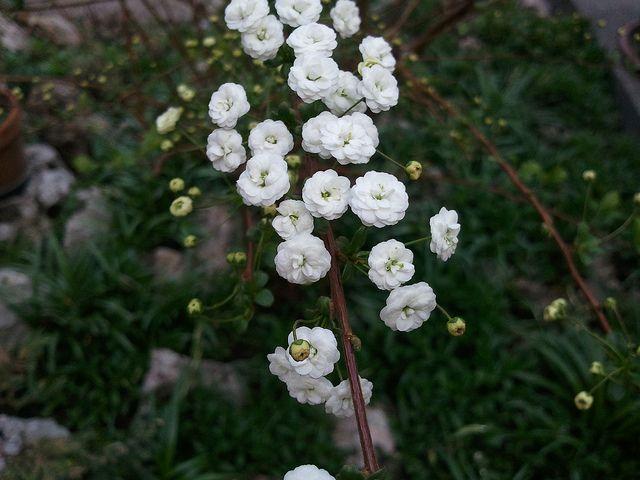 Piccoli Fiori Bianchi.Arbusto Con Fiori Bianchi 25 Marzo 2012 Plants Garden Flowers