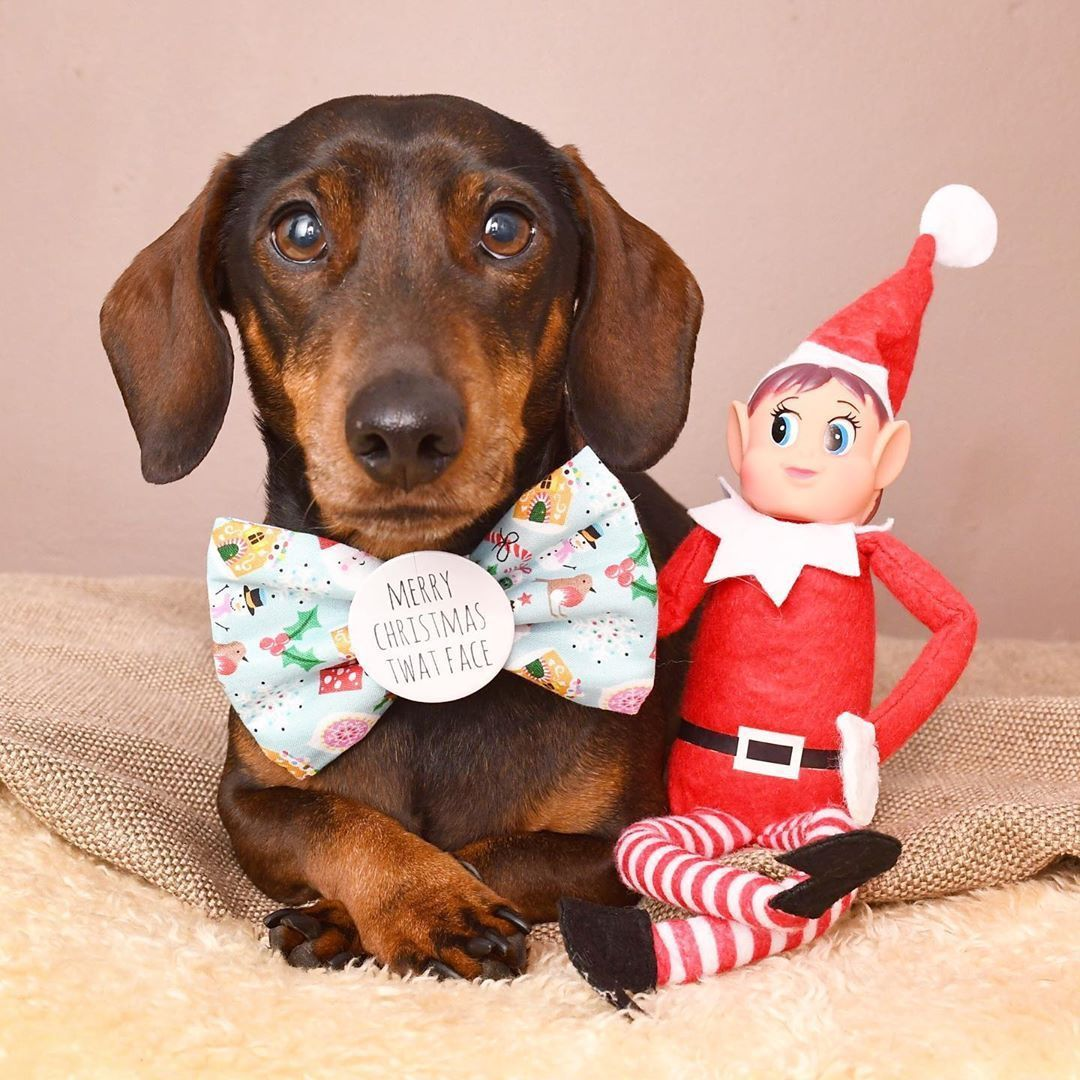 Dachshund With Christmas Toy
