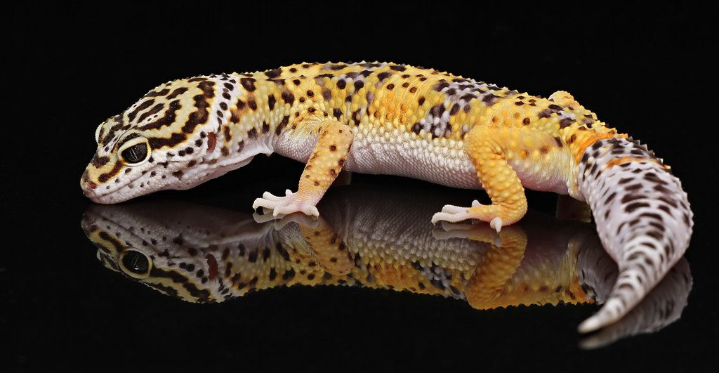 Another Leopard Gecko. Because you just can\'t have too many leopards ...