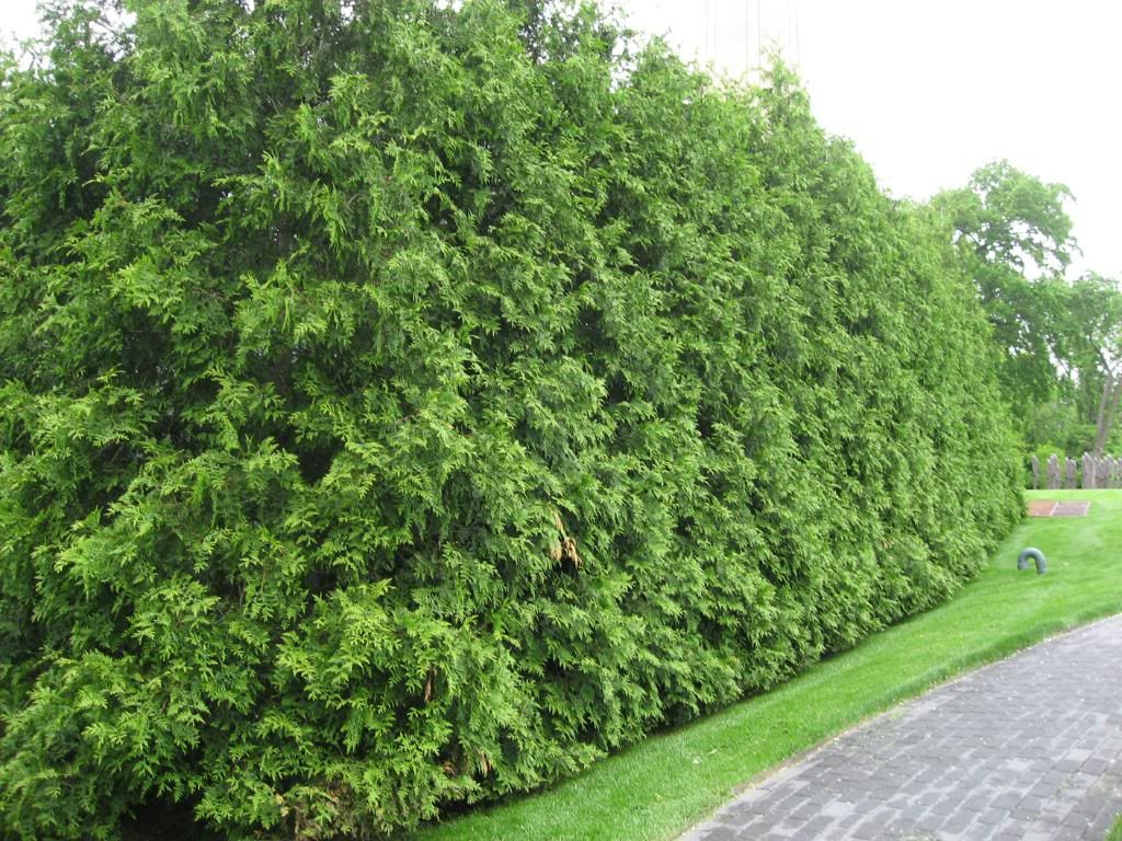 Thuja green giant for privacy garden ideas pinterest for Landscaping ideas for privacy screening