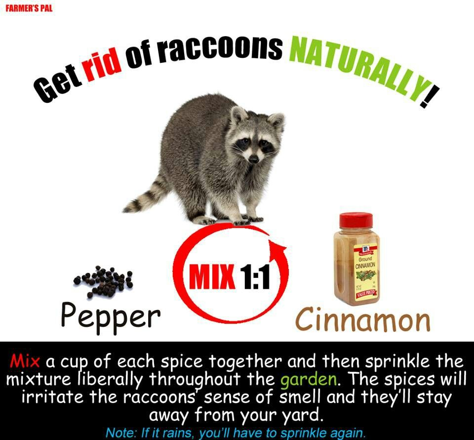 Cinnamon and pepper keep raccoons away Getting rid of