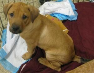 Adopt Humphries on Boxer dogs, Pet adoption, Dogs