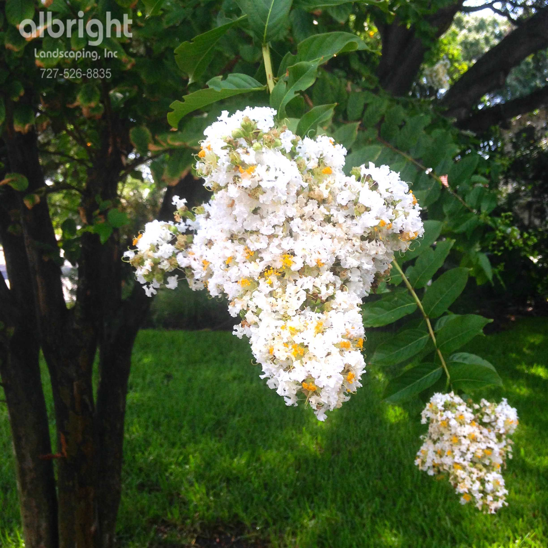White crepe myrtle bloom. Blooming trees. Coastal landscaping plants ...