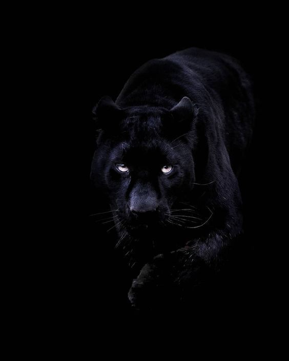 Yes Master In 2020 Black Panther Cat Panther Black Panther Gucci black panther wallpaper