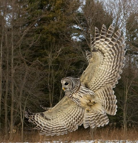 Barred Owl Wing Flare