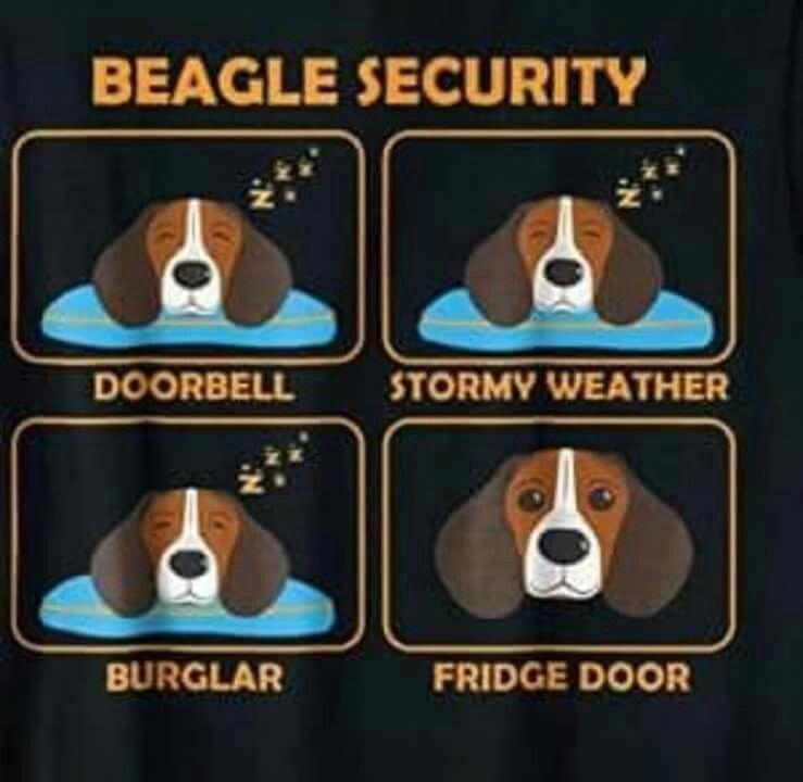 Beagle Adult Beagle Beagle Puppy Beagle Dog Beagle