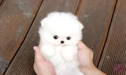 teacup pomeranian | Tumblr #teacuppomeranianpuppy teacup pomeranian | Tumblr #teacuppomeranianpuppy teacup pomeranian | Tumblr #teacuppomeranianpuppy teacup pomeranian | Tumblr #teacuppomeranianpuppy teacup pomeranian | Tumblr #teacuppomeranianpuppy teacup pomeranian | Tumblr #teacuppomeranianpuppy teacup pomeranian | Tumblr #teacuppomeranianpuppy teacup pomeranian | Tumblr #teacuppomeranianpuppy