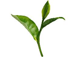 Green Tea Leaves Tea Leaves Illustration Green Leaf Tea Organic Green Tea