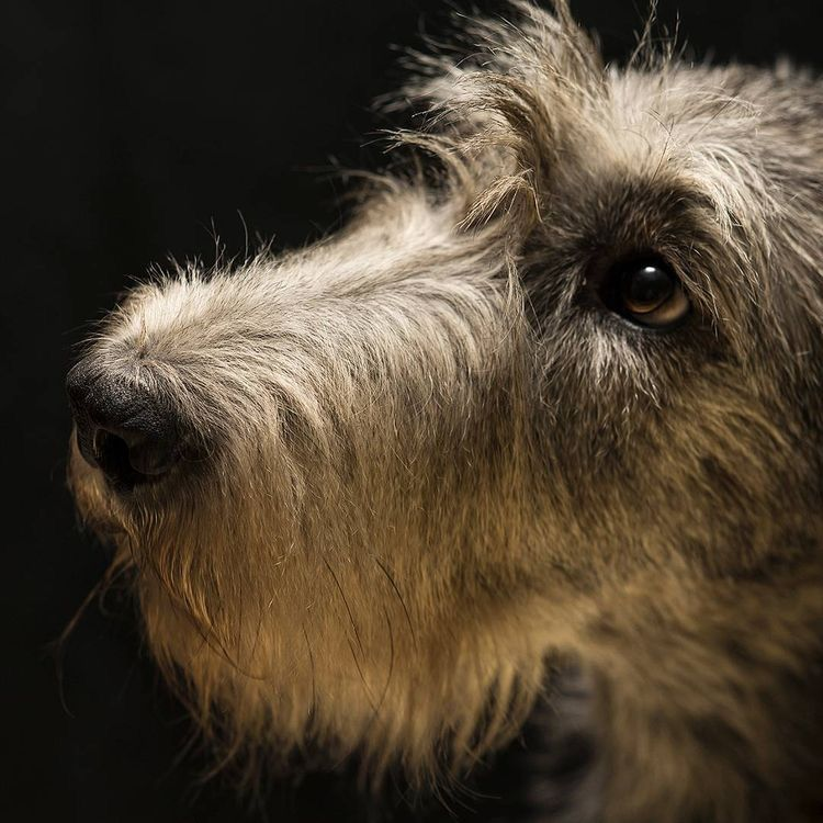 Pin by bobandersoninaz on Irish Wolfhound Irish
