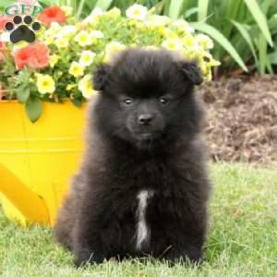 Pomeranian Purebred Puppy Litters For Sale In Hoobly Classifieds Puppy Litter Pomeranian For Sale Pomeranian