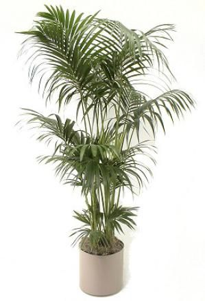 kentia palms growing howeia species kentia palms are graceful and popular indoor plants