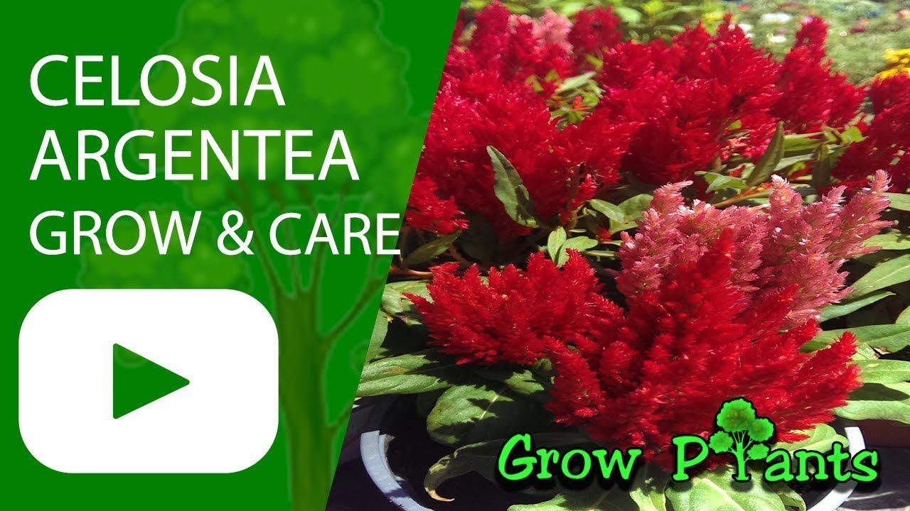 Celosia Argentea Growing Care Beauty Edible Plant Information Climate Hardiness Zone Uses Growth Speed Water Requirement Light Exposure Plantin