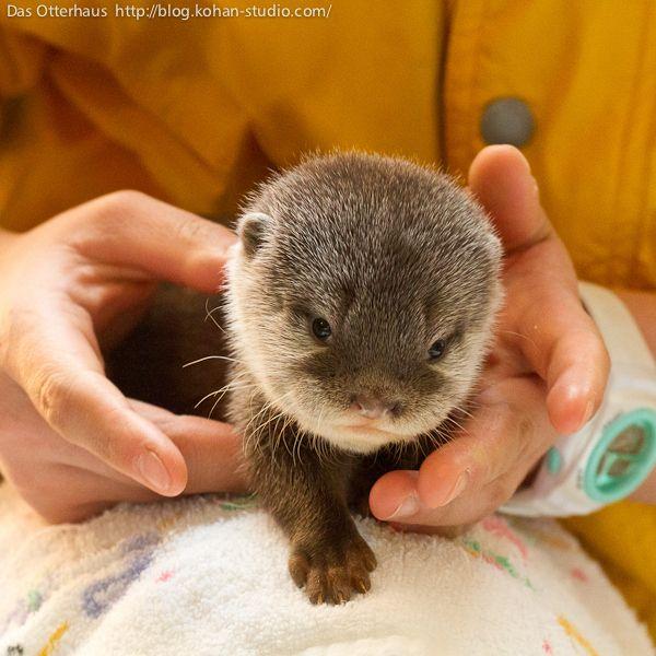 baby otter.