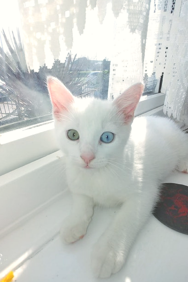 Beautiful white kitten with one blue and one green eye