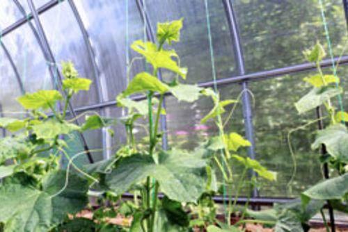 Gurken Dungen So Steigern Sie Ihren Ertrag Gewachshaus Pflanzen Gurken Im Gewachshaus Garten Gewachshaus