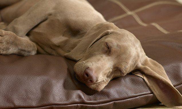 Resultado de imagen para weimaraner sleeping with owner