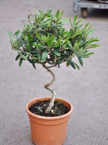 Olivenbaum mit gedrehten Stamm, Olea europea | Table