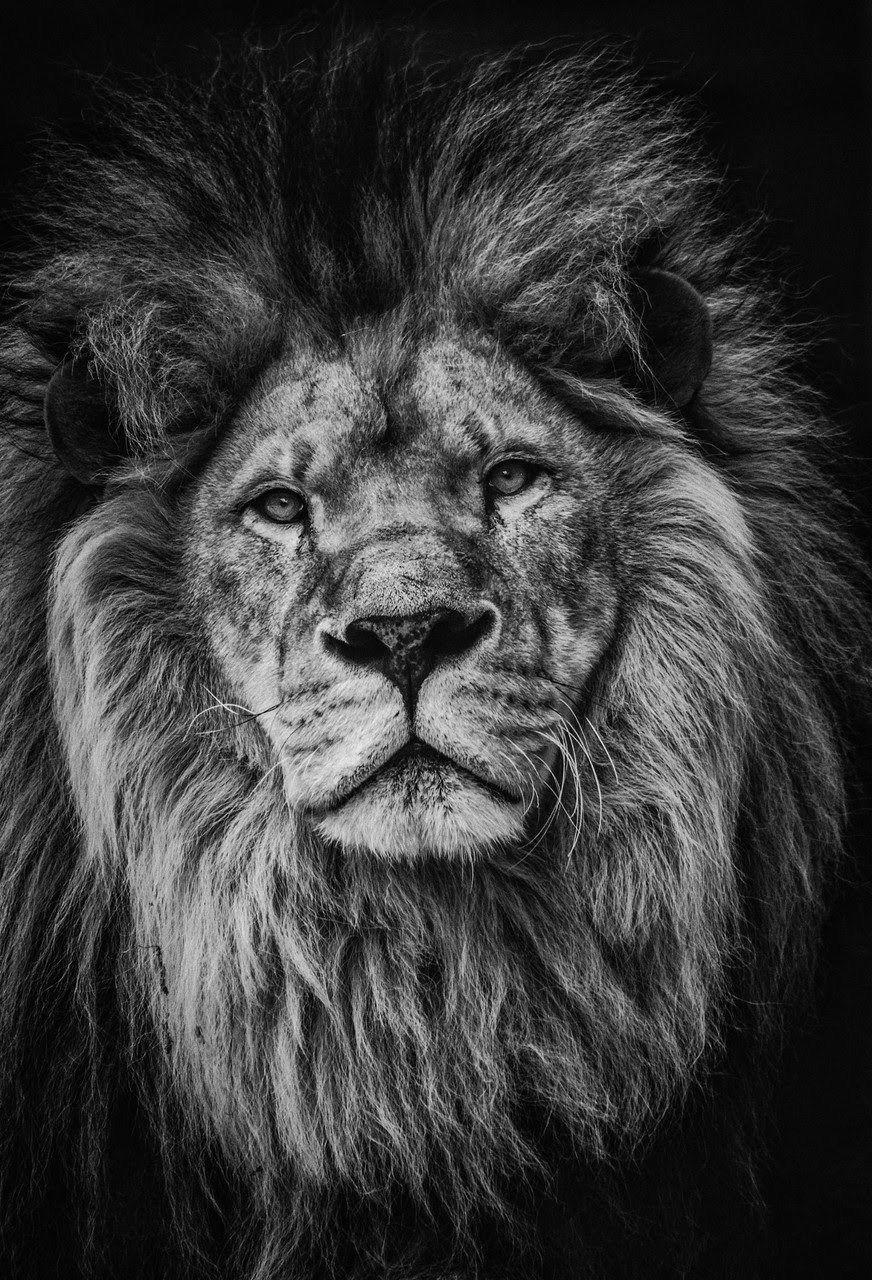 Lion portrait - #Lion #portrait