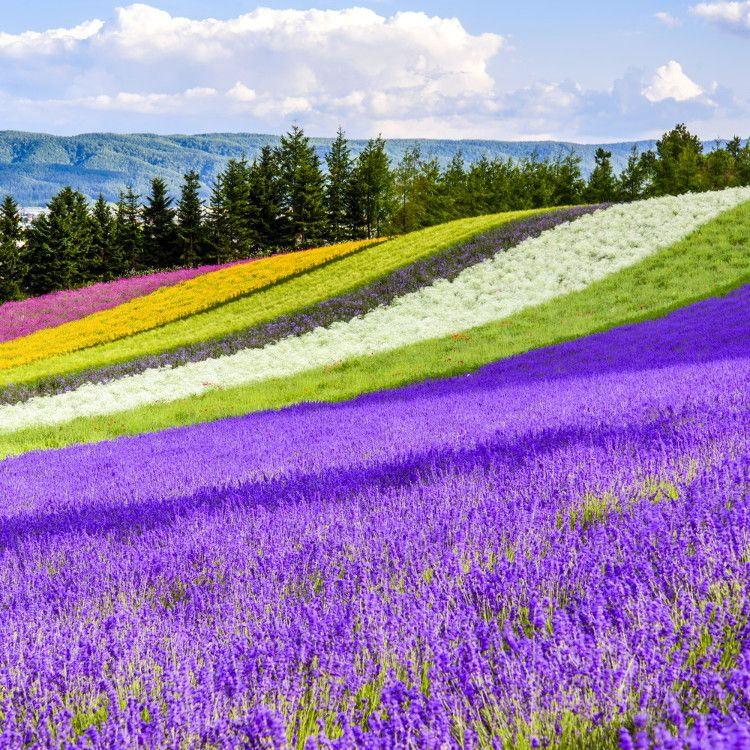 Hokkaido Lavender Fields Top 6 Furano Spots To See Japan S Fields Of Purple Live Japan Travel Guide Japan Travel Japanese Travel Furano