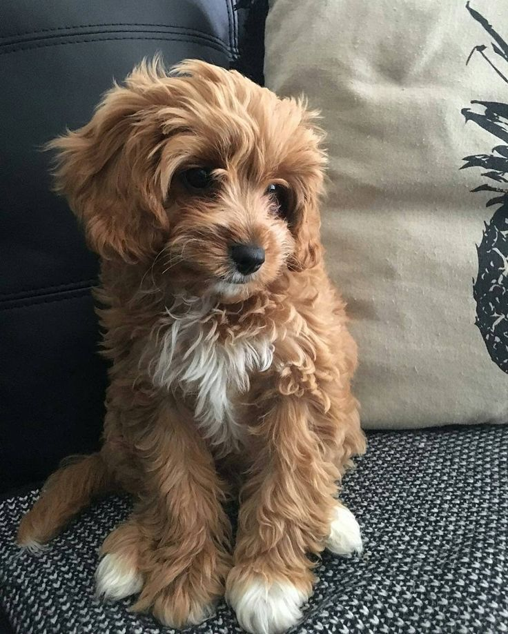 Everything You Need to Know About a Cavapoo #cavapoo #cavapoopuppies #cutepuppies #dogs - DOGBEAST