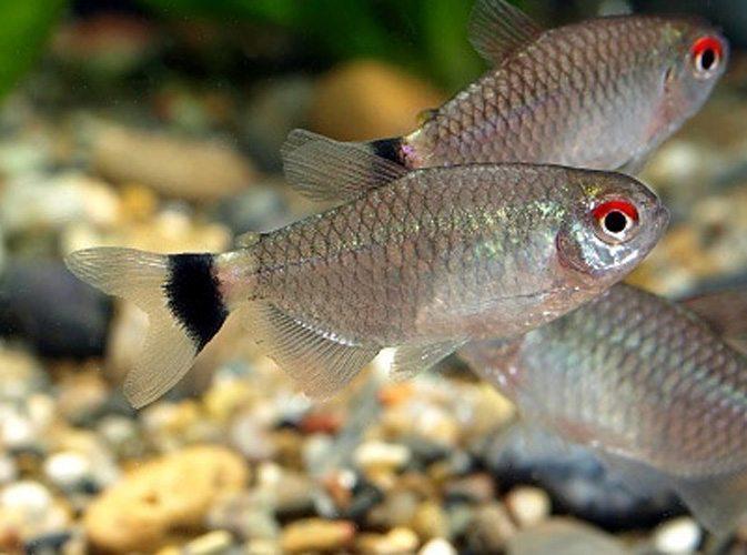 Red Eye Tropical Tetra Arizona Aquatic Gardens Freshwater Aquarium Fish Glow Fish Tropical Fish