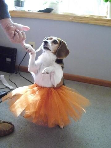 Homemade Beagle Halloween Costume Dog Halloween Costumes Dog