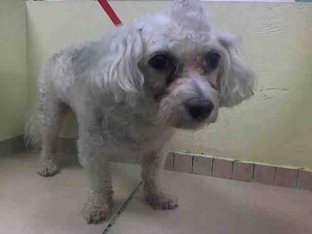 SUPER URGENT 8/25/14 Brooklyn Center   MIKE - A1011801   MALE, WHITE, POODLE MIN MIX, 8 yrs STRAY - STRAY WAIT, NO HOLD Reason STRAY  Intake condition EXAM REQ Intake Date 08/25/2014, From NY 11236, DueOut Date 08/28/2014,   https://www.facebook.com/Urgentdeathrowdogs/photos/a.617942388218644.1073741870.152876678058553/860648037281410/?type=3&theater