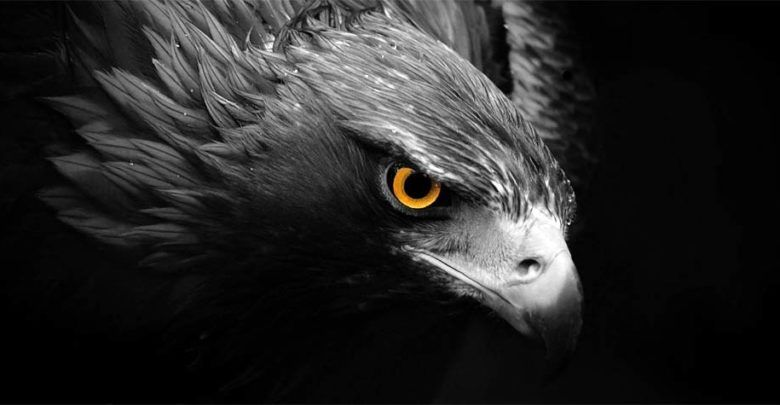 Haast S Eagle The Largest Eagle That Existed Philippine Eagle Eagle Wallpaper Black Eagle Wallpaper