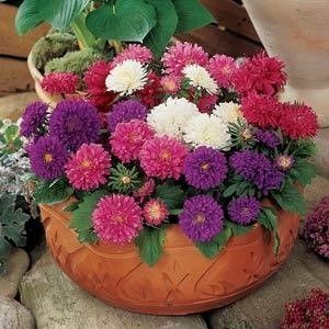 Chinese Aster Seeds Callistephus Annual Flower Seeds Annual Flowers Summer Bedding Plants Aster Flower