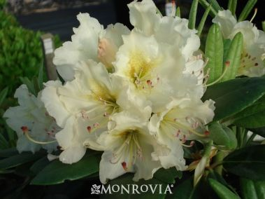 New Century Rhododendron - Rhododendron x catawbiense hybrid - Select several different colors