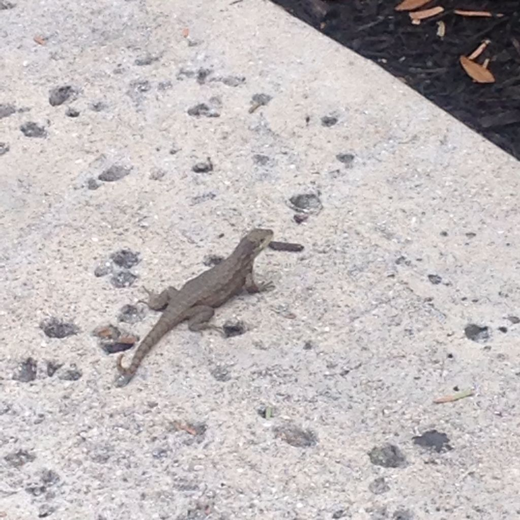 Wildlife on Lynn- lizard
