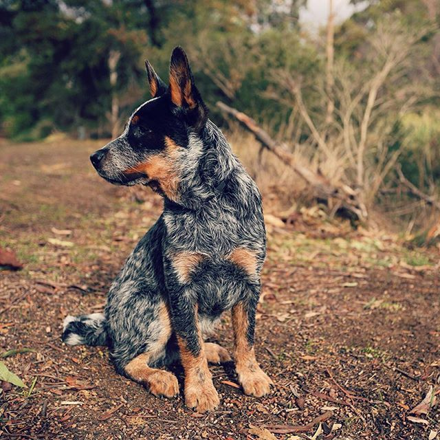 17 Photos Of Blue Heelers That Will Make You Say Honey We Need A